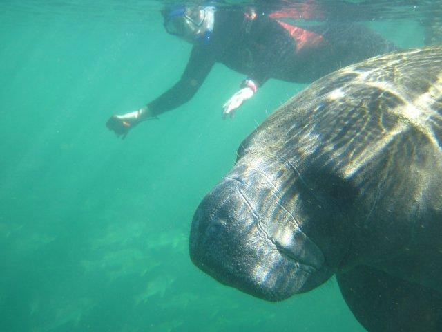 swimming with the manatees crystal river florida