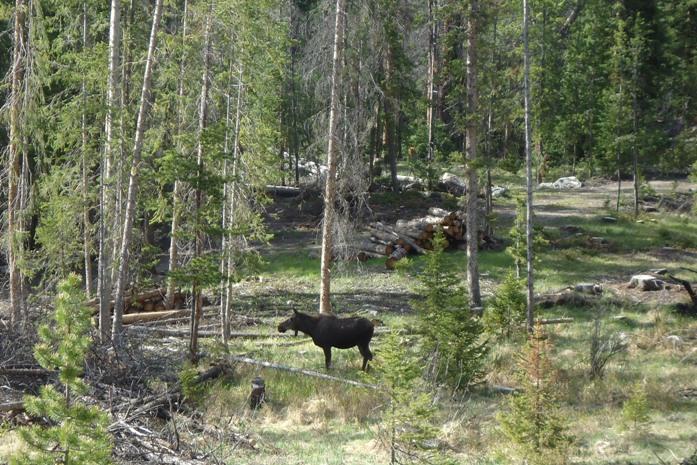 moose rocky mountain national park rmnp colorado