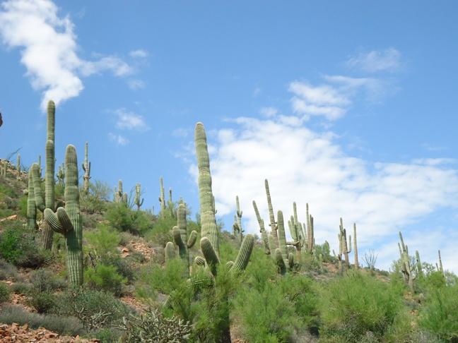 apache trail cactus