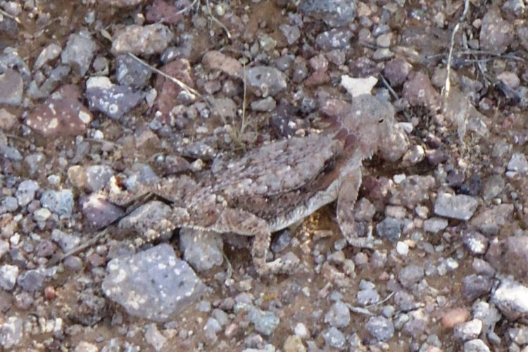 arizona lizard