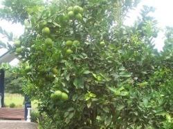 Fresh Limes in the Backyard