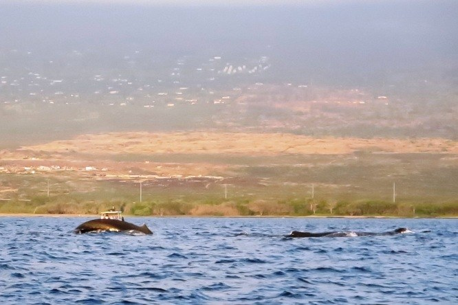 Humpback whales in Hawaii