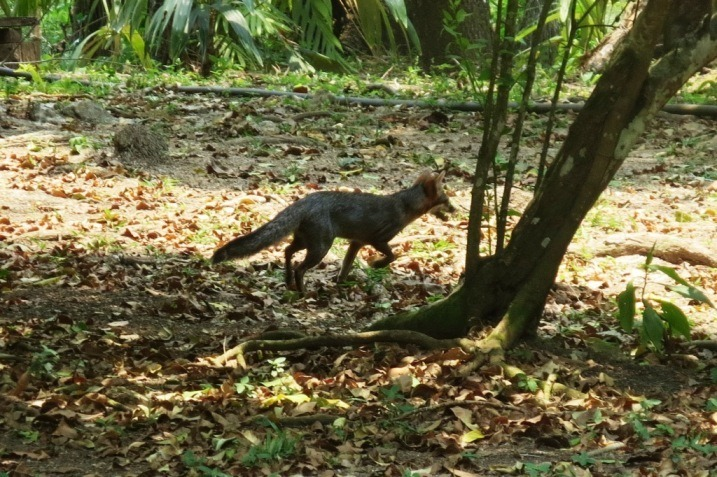 fox estacion biologica las guacamayas guatemala