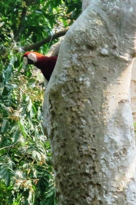 macaw 1 las guacamayas guatemala