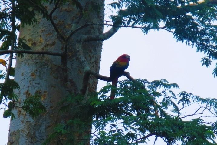 macaw 2 las guacamayas guatemala