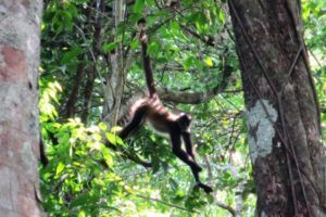One spider monkey who wasn't happy we were in his territory.