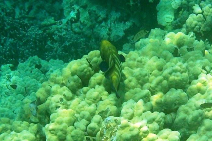 kealakekua snorkeling fish