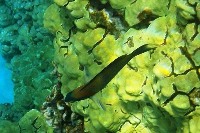 tropical fish while kona snorkeling