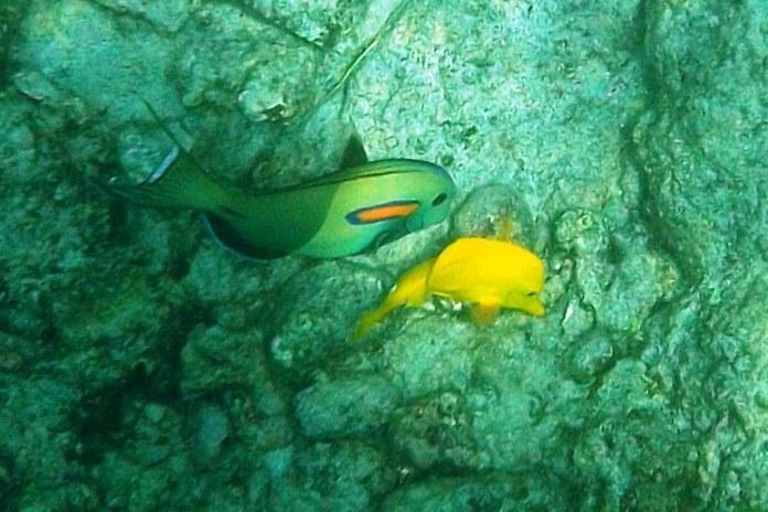 fish in honaunau bay kona hawaii
