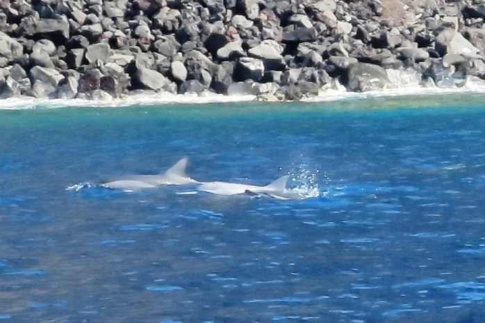spinner dolphins at surface of kealakekua bay