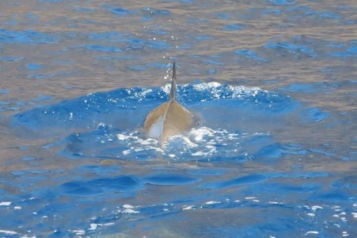 spinner dolphin swimming big island