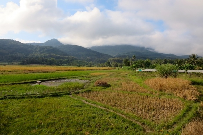 rice field living land farm luang prabang laos