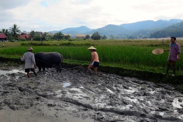 ploughing rice field luang prabang laos