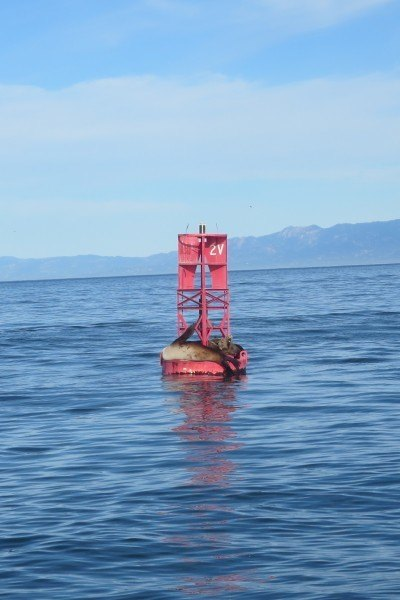 sea lions channel islands