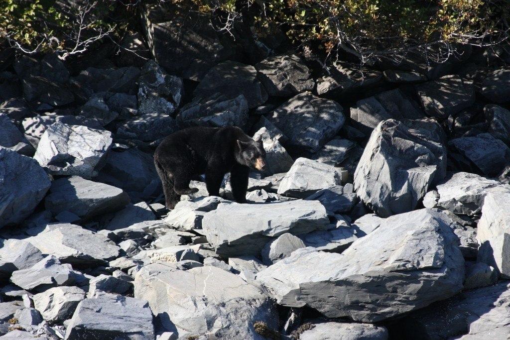 black bear kenai fjords alaska
