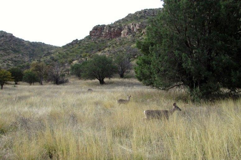 deer chiricahua national monument