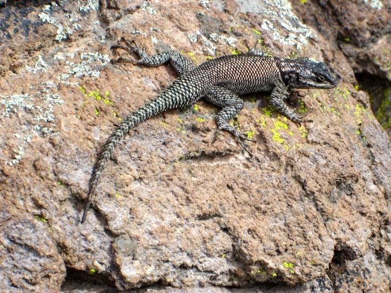 chiricahua national monument lizard