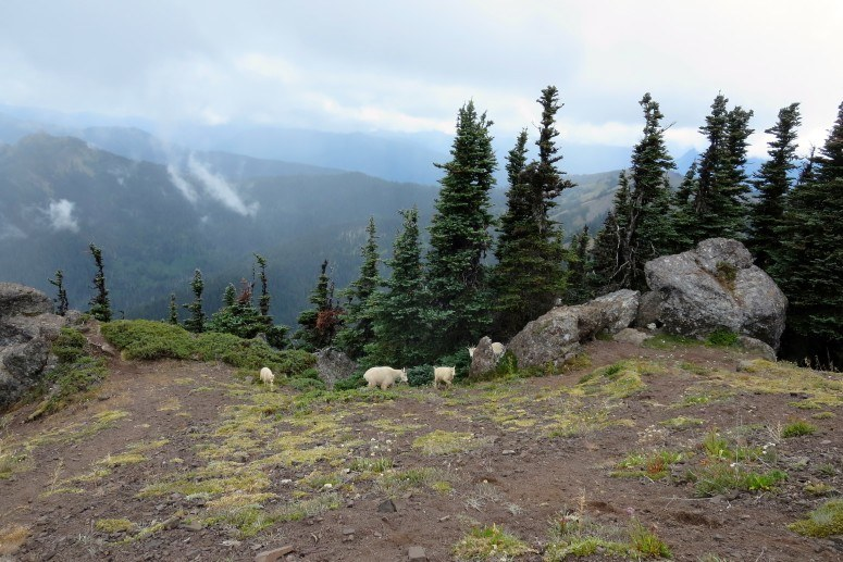 mountain goats olympic national park hiking