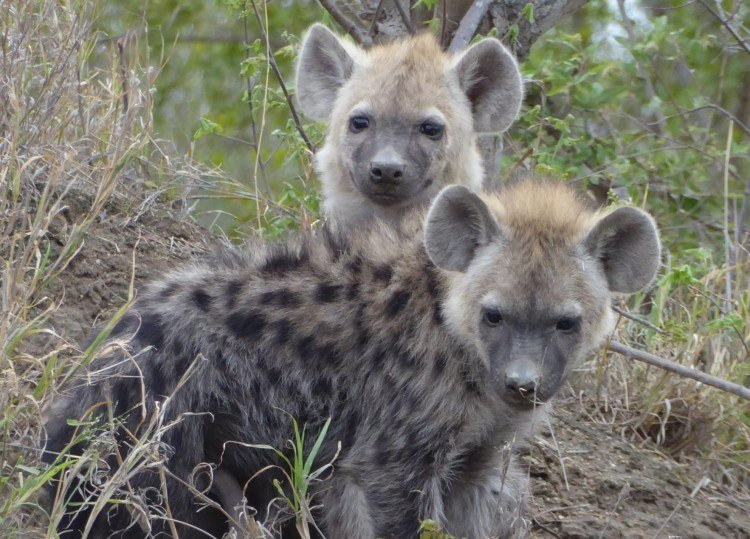 hyenas in south africa safari packing list
