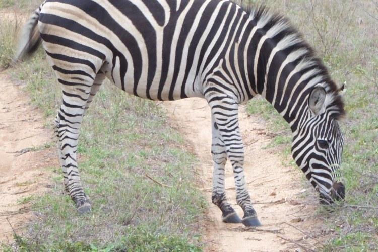 zebra as seen on a south african safari