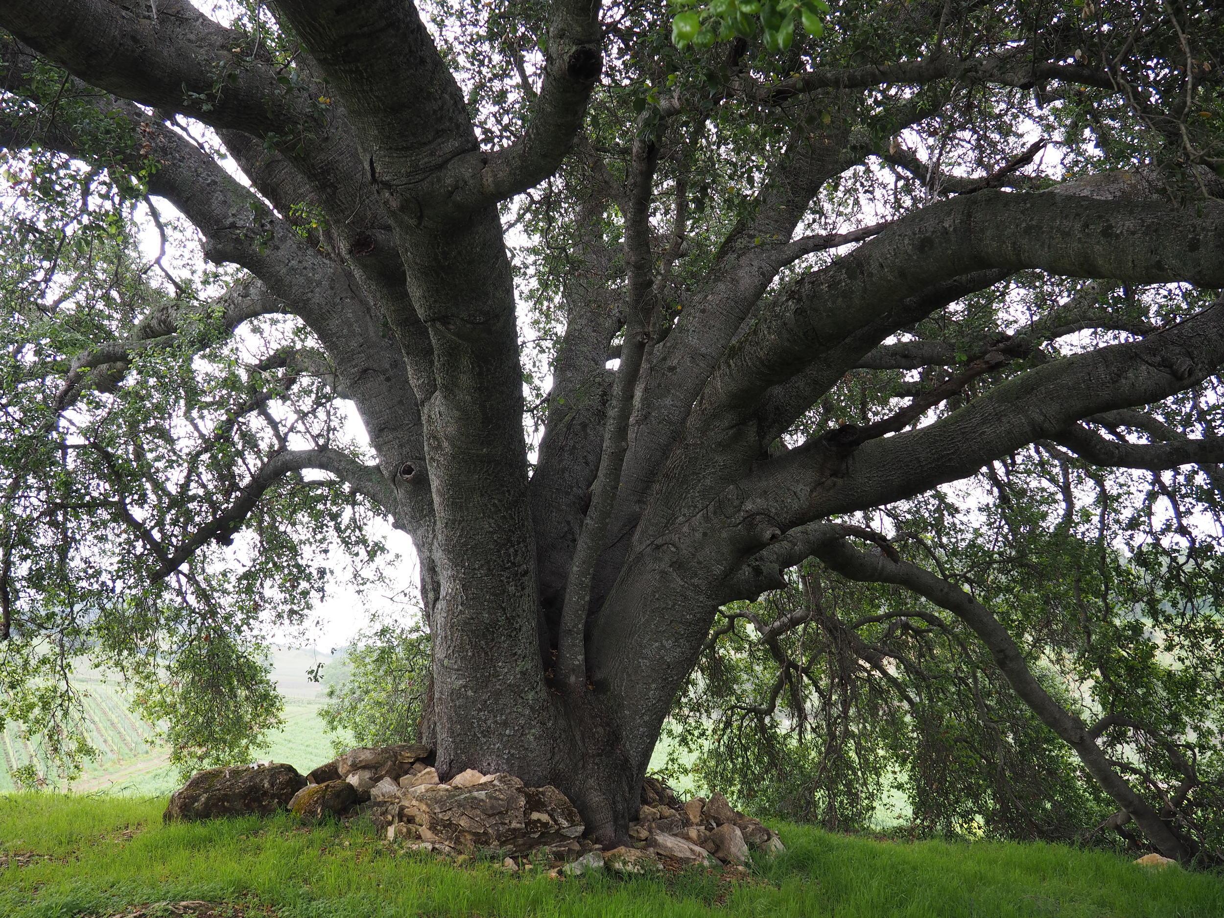 wine tasting in paso robles / ancestor tree halter ranch vineyard excursion tour