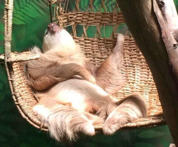 sleeping-sloth