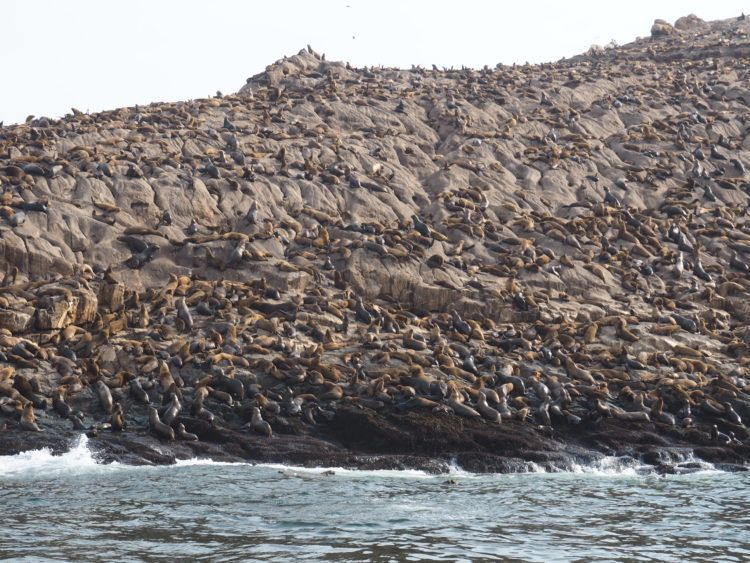 Sea lion colony on Islas Palomino