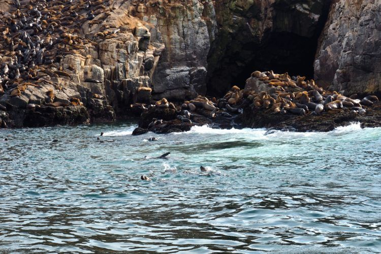 sea lions swimming ballestas island
