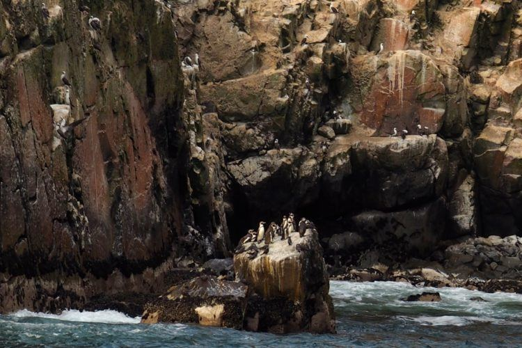humboldt penguins islas palomino peru