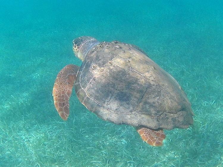 sea turtle scuba diving in placencia belize