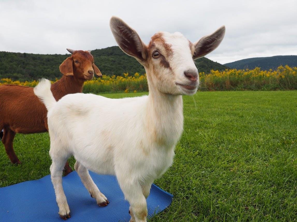 two goats on a yoga mat near corning ny