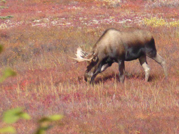 where to see wildlife in alaska / moose in denali