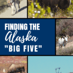 Have you seen the Alaska Big 5? Travel to Alaska is amazing -- find out where to spot wildlife (easily and cheap!) for gorgeous photography and once in a lifetime moments. Ideas for cruise, Anchorage day trips, and other spots for your summer vacation.