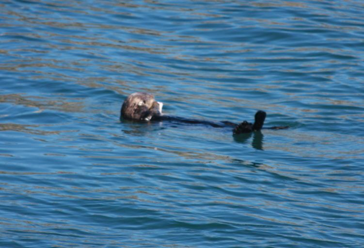 otters in kenai / where to see wildlife in alaska