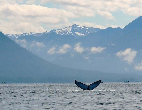sitka humpback whale where to see wildlife in alaska