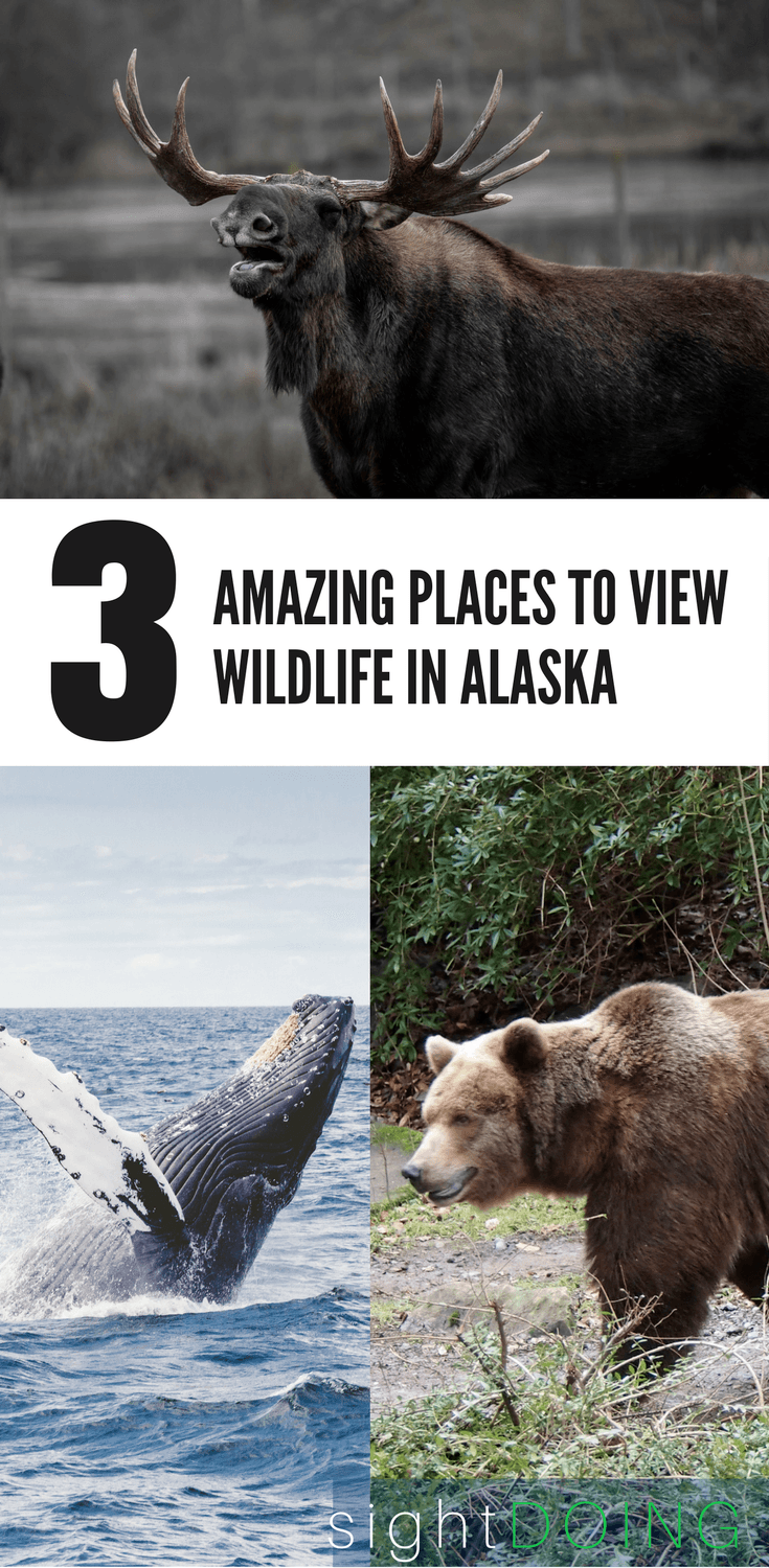 Travel to Alaska is amazing -- find out where to spot wildlife (easily and cheap!) for gorgeous photography and once in a lifetime moments. Ideas for cruise, Anchorage day trips, and other spots for your summer vacation.