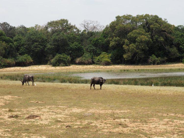 water buffalo wilpattu national park animals