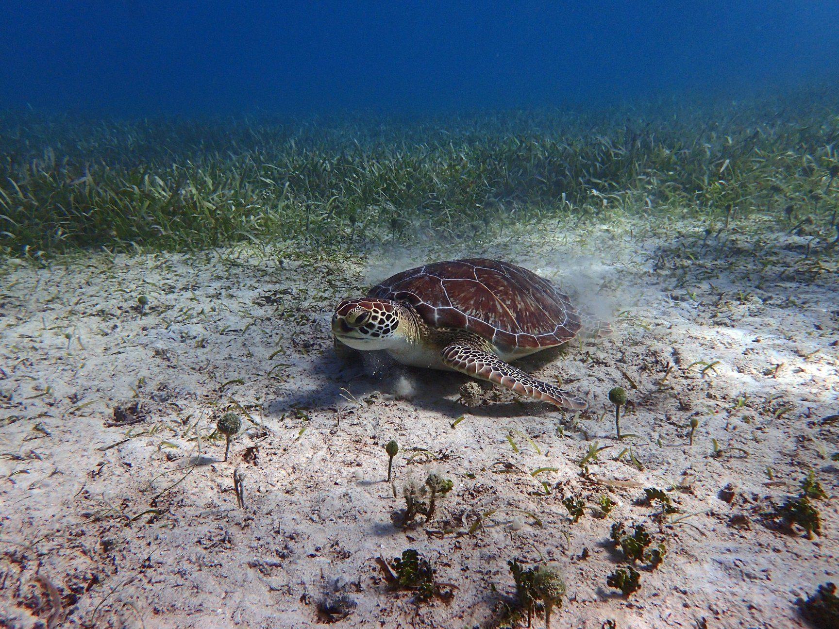 Turtle while snorkeling at Playa Tamarindo