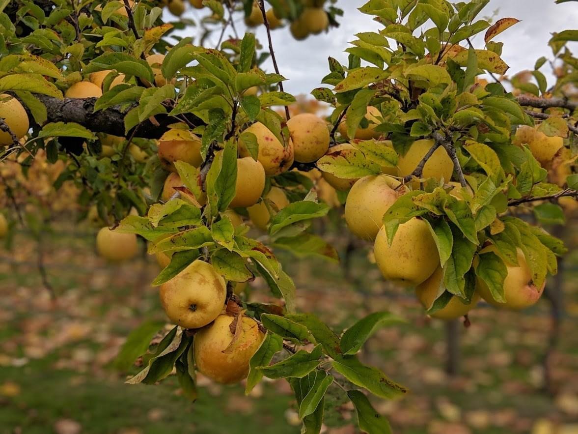 tasmania apples