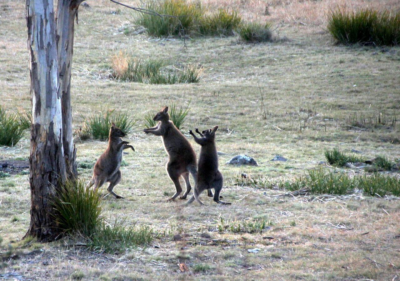 wallaby while on tasmania holidays