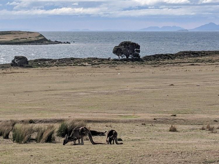 Mama kangaroo and baby on Maria Island
