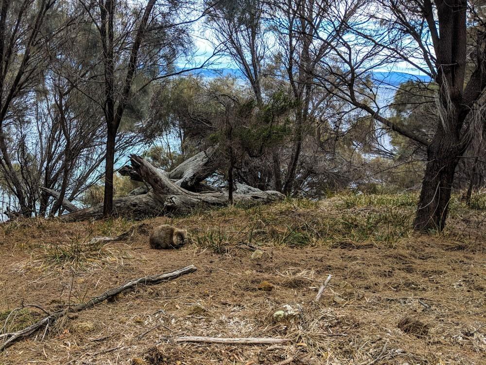 maria island wombat