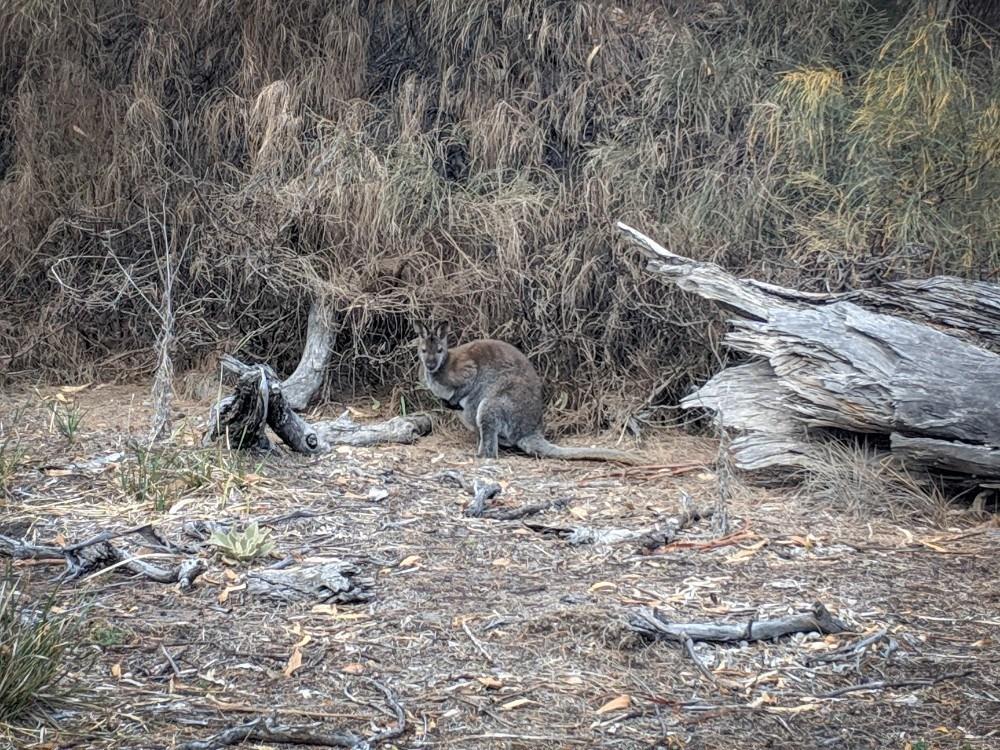 wallaby maria island