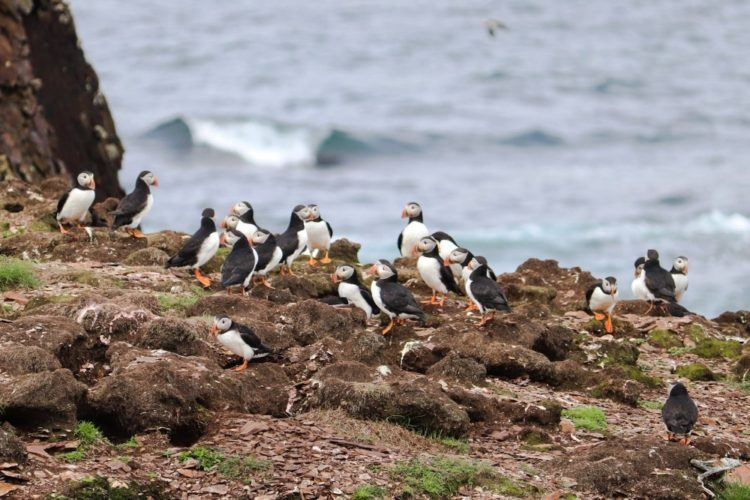puffins near the water