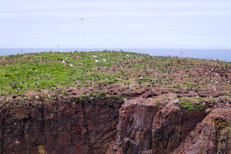 hundreds of puffins at a distance
