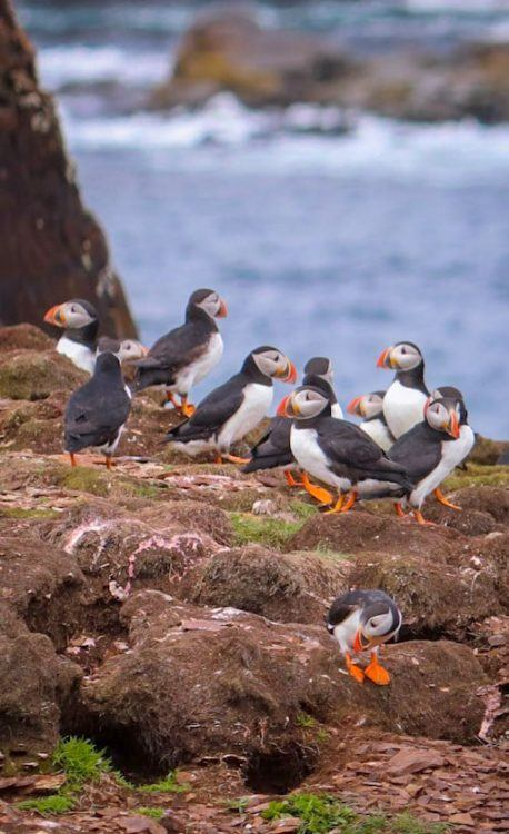 puffins in Newfoundland on a cliff