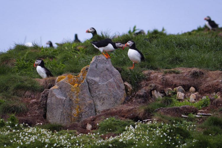 Atlantic puffins on a rock in Newfoundland