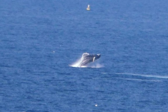 Whale breaching off the shore of Cape Spear, Newfoundland