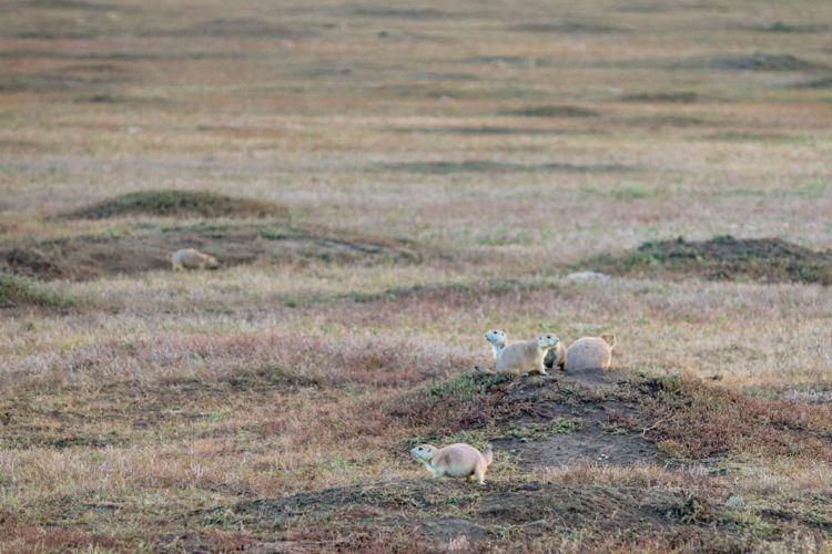 prairie dog village in north dakota
