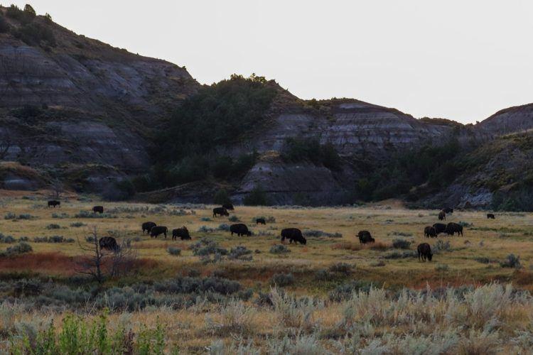 herd of bison in north dakota